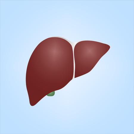 fascia: Realistic Illustration of Human Liver Illustration