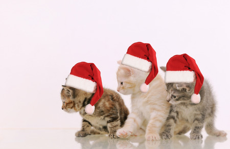 interested: three adorable furry kittens interested in something on white background, happy animal concept