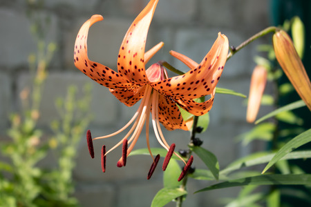 Village. Rural. Garden. The opening flower of the tiger Lily at dawn. Stock Photo