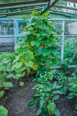 Village. Rural. Garden. Inside the greenhouse for cucumbers, peppers and zucchini.
