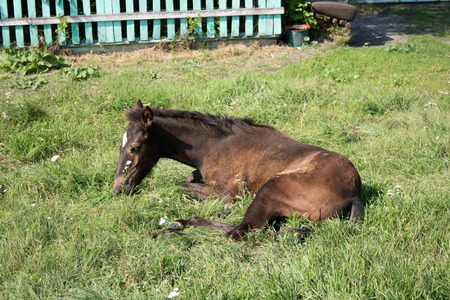 Village. Rural. Pet.  Foal lying on the grass near the house.