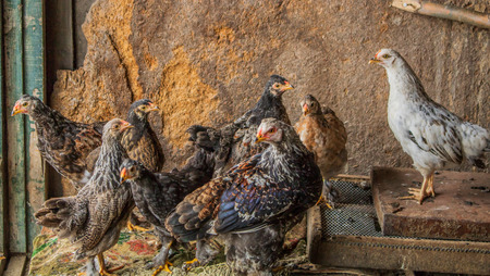 Village. Rural. Aviary for birds. Beautiful purebred chickens. Stock Photo