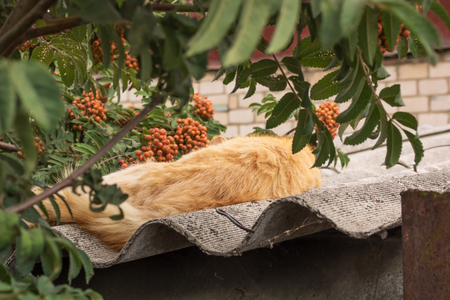 Village. Rural. Garden. A red cat sleeps on the roof of a barn in the shadow of branches of red mountain ash.