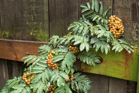 Village. Rural. Garden. Bunches of Rowan red in the rain on the old fence.