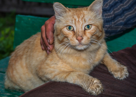 Village. Rural. Home red cat on the hands of the owner of the house.