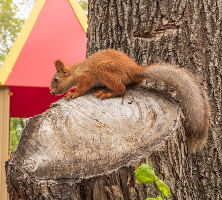 Village. Rural. Red squirrel on a tree stump in the Park.