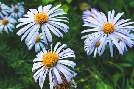 Blue daisies. Decorative flowers in the flowerbed.