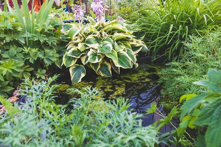 Decorative pond. Hosta and other plants.
