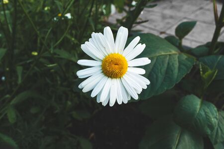 Chamomile is gigantic. Flower on the flowerbed. Stock Photo
