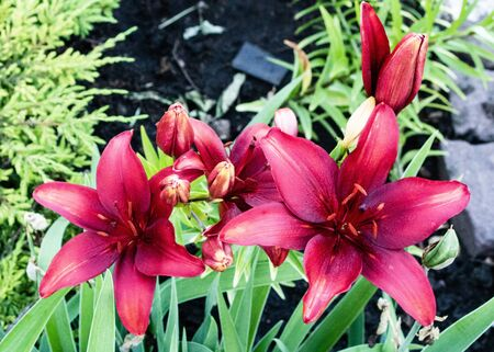 Flowers. Garden lilies in the flowerbed. Stock Photo