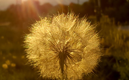 dandelion flower at sunset