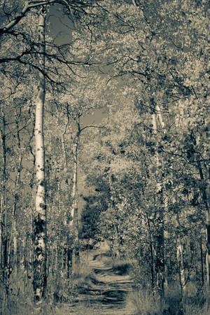 walking between black and white aspen trees Фото со стока