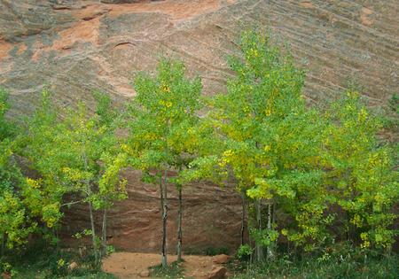 aspen tree family