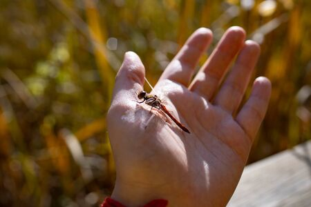 Dragonfly on a female hand. Insect on the palm of a person on a sunny day