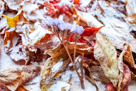 Bright colored autumn leaves covered with a light layer of snow