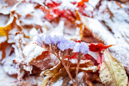 Bright orange autumn leaves covered with a light layer of snow. Leaves in the snow. Snow lies on autumn leaves
