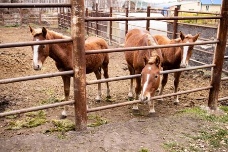 A few ponies in the paddock stand behind the fence and look at the camera..