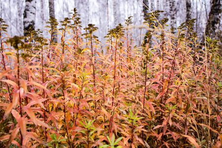 beautiful tall seeding plants on a forest background