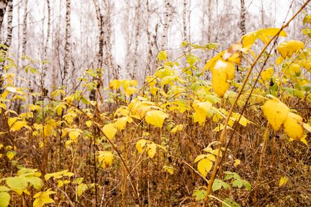 autumn nature. Yellow leaves of various bushes on the background of the autumn forest
