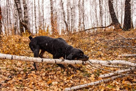Dog nibbles a fallen tree in the autumn forest