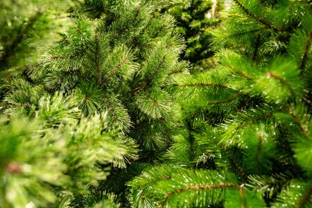 coniferous green forest. Christmas tree branches before the new year.