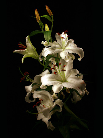 flower of a white lily on a black background
