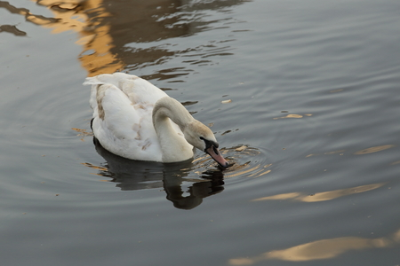 A swan white floats in the lake in the summer.