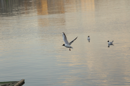 Seagull is a bird in flight. Flies over the water