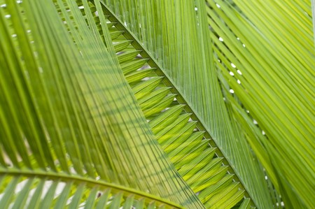 Fresh green palm leaf, can be used for background, shallow depth of field