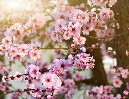 Printemps cerisiers en fleurs, shallow DOF Banque d'images
