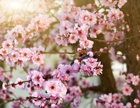 Spring cherry blossoms, shallow DOF Stock Photo - 4329718