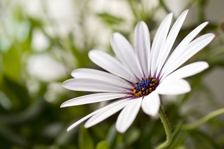 Closeup of beautiful daisy, shallow depth of field photo
