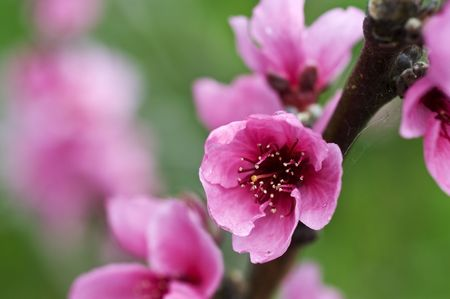 Closeup on branch with flowers of peach Stock Photo