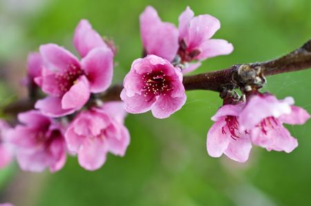 Closeup on the branch with peach flowers photo