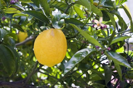 Lemon tree branch with lemon and leaves in background
