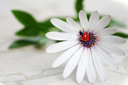Ladybug on daisy flower. Macro close-up, shallow depth of field