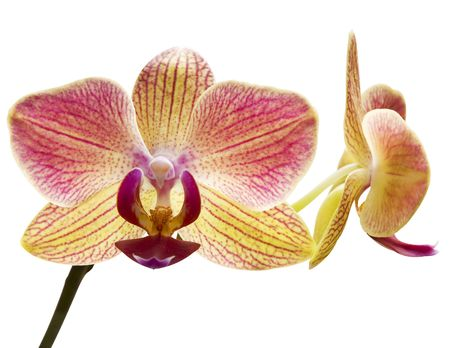 Beautiful orchid isolated on white photo