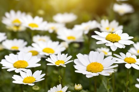 Camomile field on the sunset Stock Photo