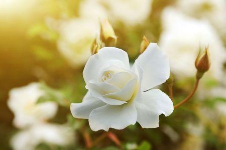 Sunny day in the rose garden