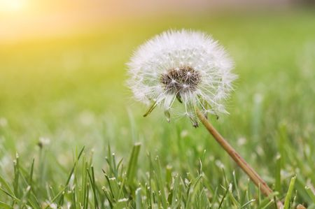 White dandelion on a green background Stock Photo - 4991372
