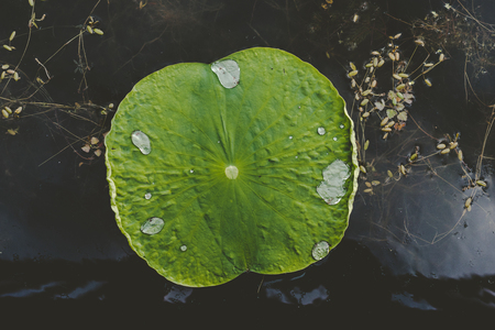 Lotus green leaf on top of black lake with water drops