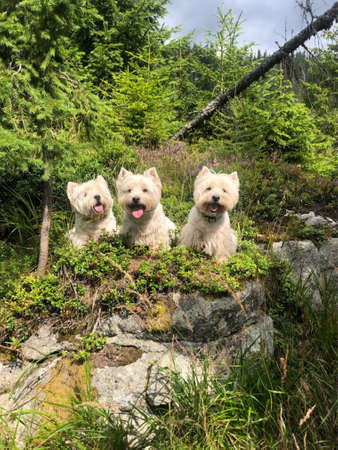 West Highland White Terriers in High Tatras