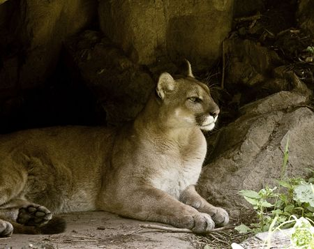 Puma en reposo