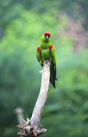 Thick-biller Parrot