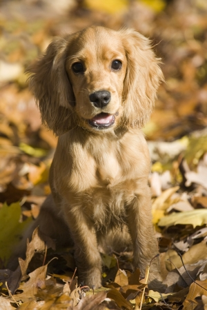 English Cocker Spaniel photo
