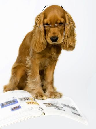 English Cocker Spaniel.
