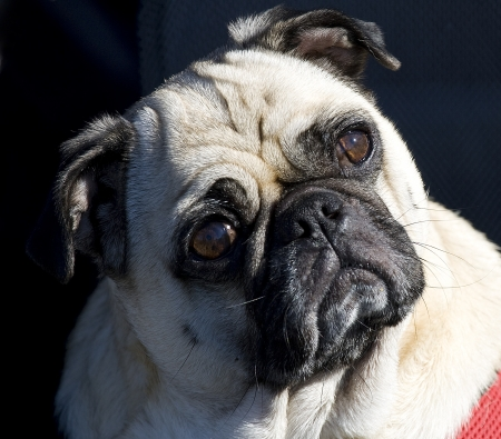 Pug looking confused. photo