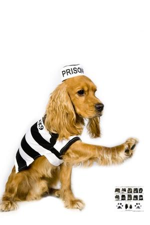 culprit: Portrait of an adorable Cocker spaniel in prison garb Stock Photo