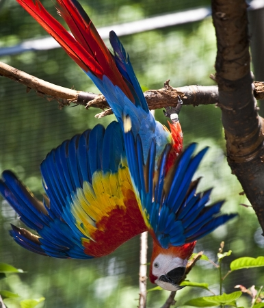 Red Macaw Parrot  photo