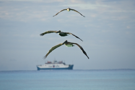 Flying pelicans looking for their pray